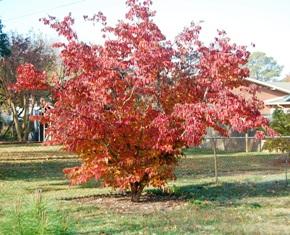 Our dogwood tree Nov 2010