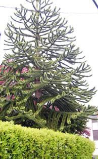 Victoria Monkey Tree