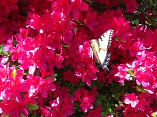 Azalea w butterfly 2