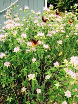 Cottage butterflies 3