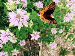 Cottage butterflies 4