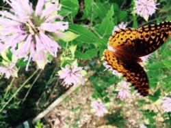 Cottage butterflies 5