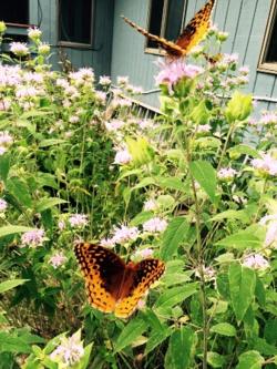 Cottage butterflies 6