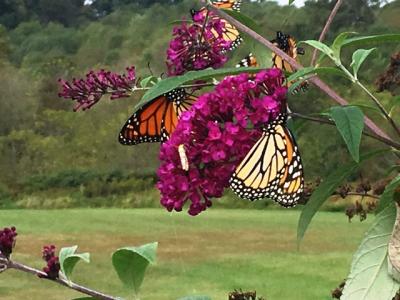 2 Monarchs on red flower